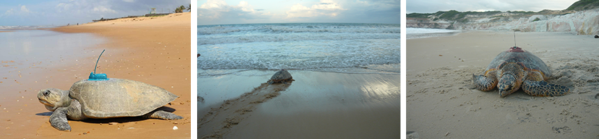 The Tamaro project fitted tracking devices to olive ridely sea turtles and also hawksbill sea turtles.